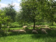 Cherry Orchard Lambs