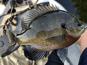 Some Nice Gills On Shallow Man Made Structures.......