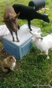 All 3 my nigerion dwarf goats