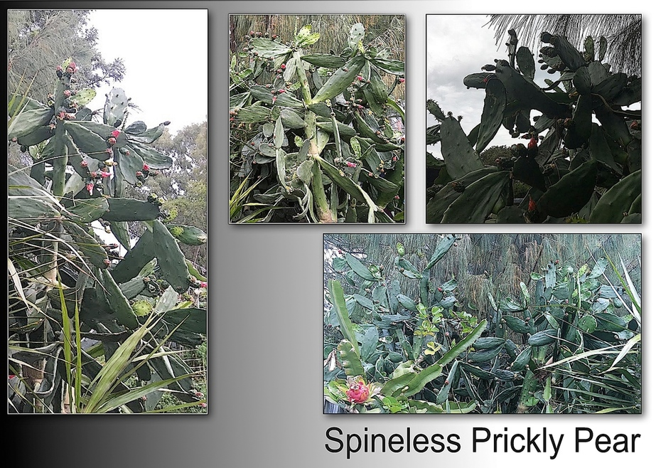 Spineless Prickly Pear 2.