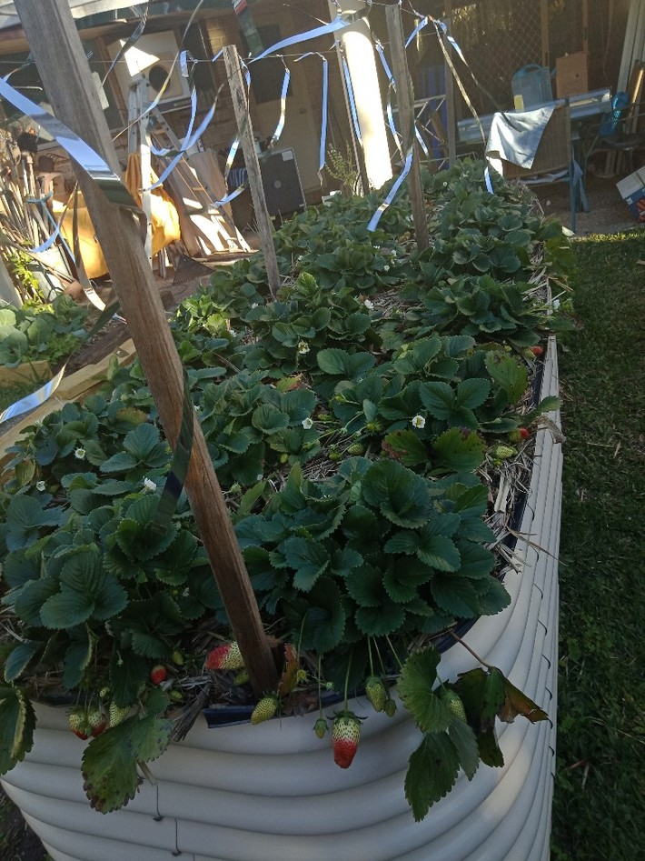 New raised strawberry bed