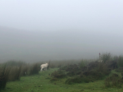A Lamb in the Foggy Scottish Highlands