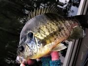 Shellcracker Fishing Has Been Hot The Last Couple Weeks....8/25/2019