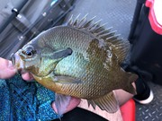 Redbreast Sunfish  Beginning to Grow In This Region