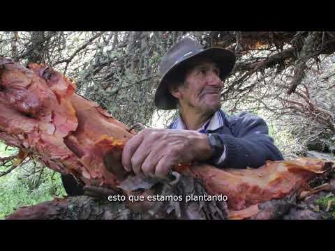 Los saberes de Jacinto sobre los arboles que retienen agua- Cusco
