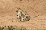Stoeiende luipaarden