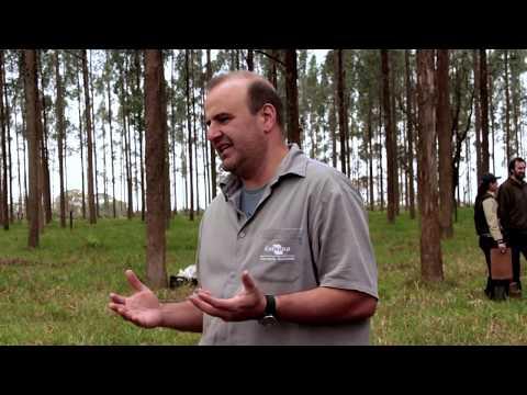 Manejo de árvores no sistema ILPF