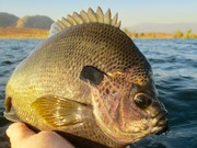 Sept. 13, 2019 Bluegill Fly Fishing