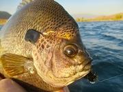 9/13/2019 Bluegill Fly Fishing