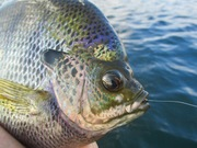 Lake Perris fly fishing 9/16/2019