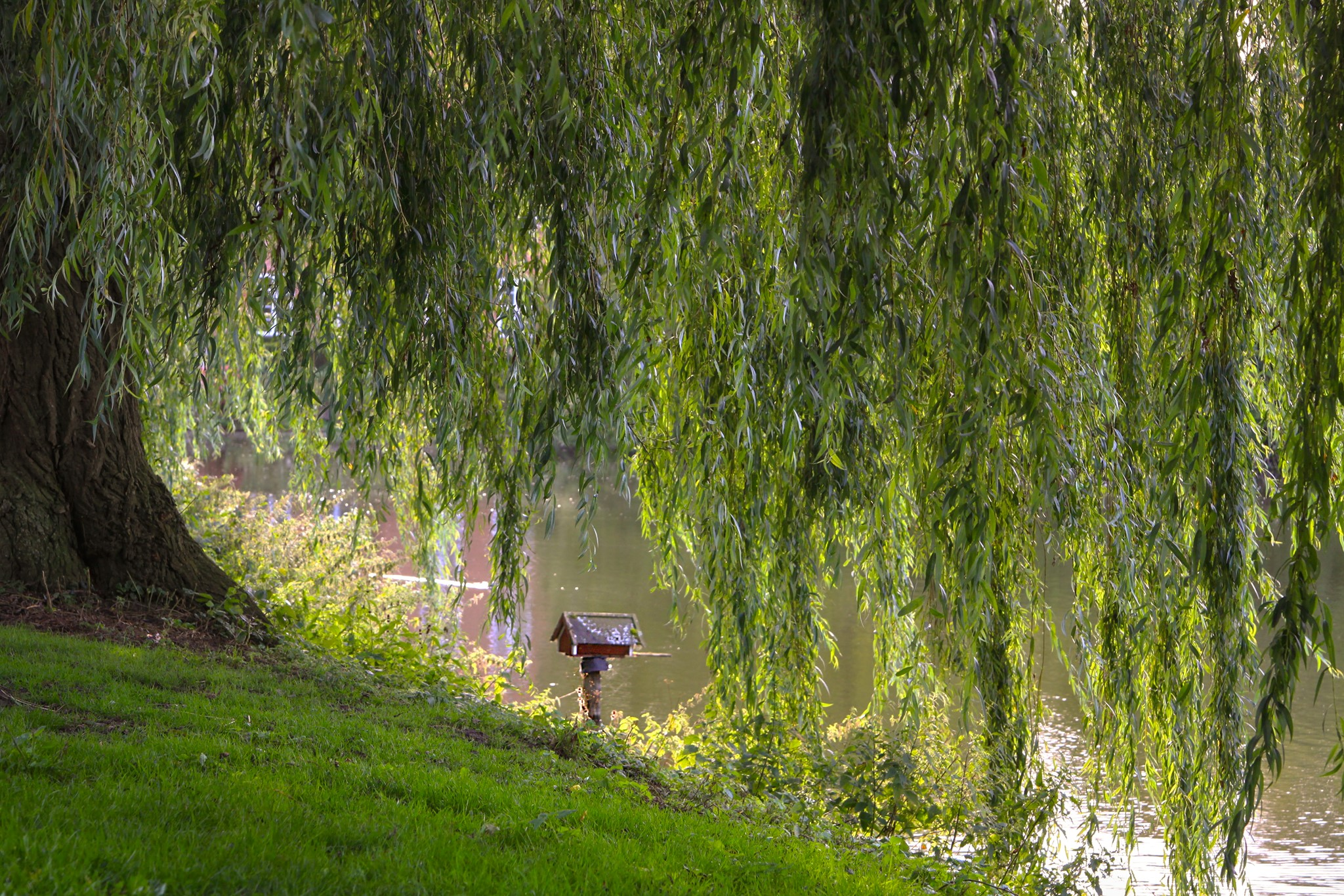 A glorious Willow tree