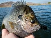 Bluegill fly fishing 9.20.2019