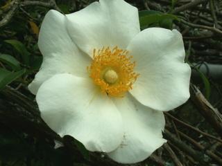 Cherokee Rose - Lester