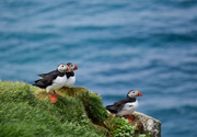 Atlantic Puffins on Grimsey Island