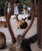 Nara Deer within a Deer
