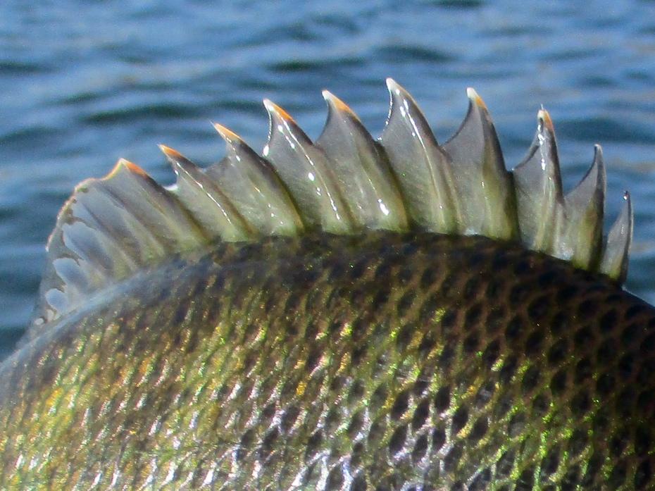 Bluegill fly fishing 10.1.2019