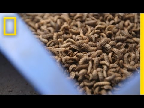Gross or Brilliant? Using Bugs to Feed the Animals We Eat   National Geographic