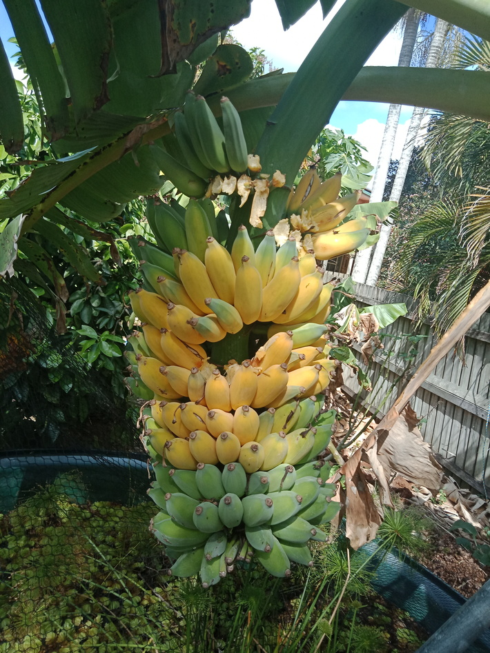 Ripe blue bananas