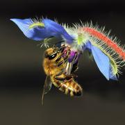 ape sul fiore di borragine