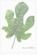 Ficus carica: Whose design is it anyway?