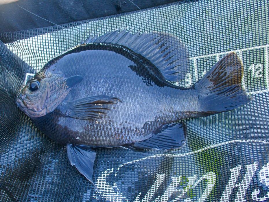 October coppernose. Lake Perris, CA