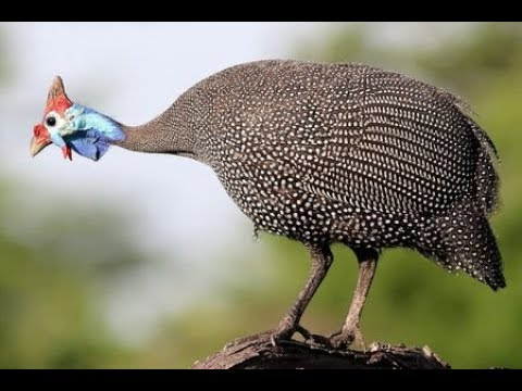 Guinea Fowl Facts the Ultimate Lymes Tick Control