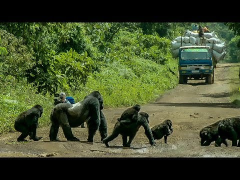 Gorilla stops traffic for his family to cross road