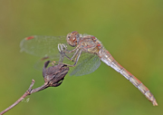 S.Striolatum!