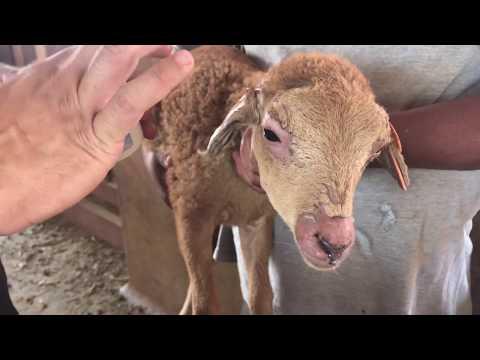 Fotossensibilização em bovinos e ovinos