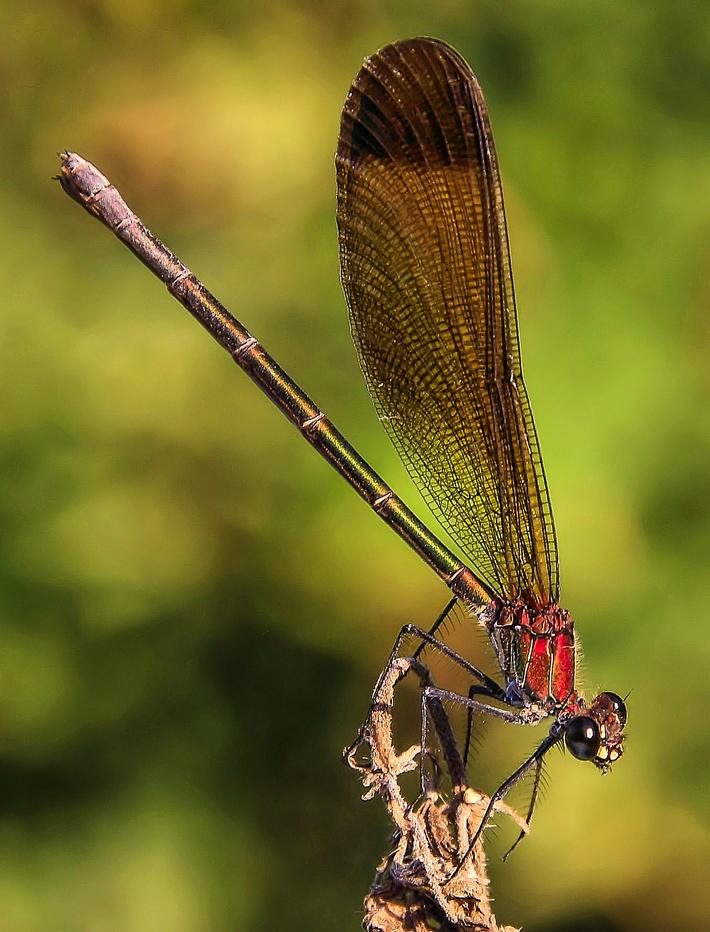 libellula rossa