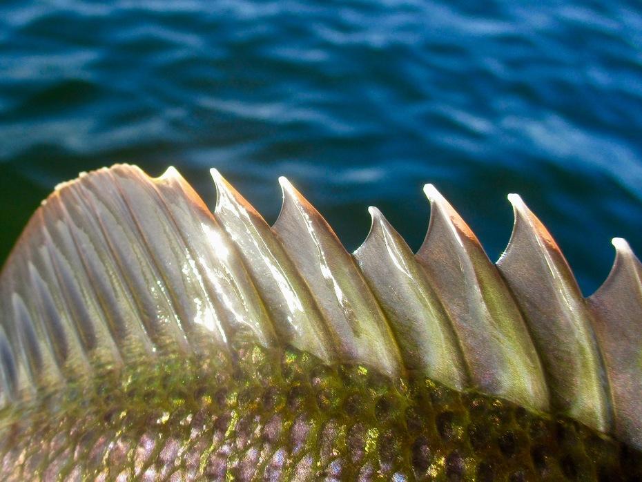 Lake Perris, CA bluegill fly fishing Nov. 8, 2019
