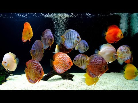 Thousands of Discus at this Professional Hatchery.