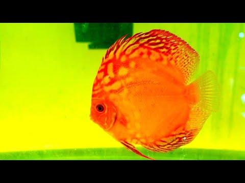 JACK WATTLEY DISCUS HATCHERY TOUR - Breeding Discus Fish and Wild Caught Discus