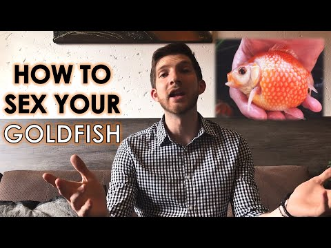 How to Sex Goldfish
