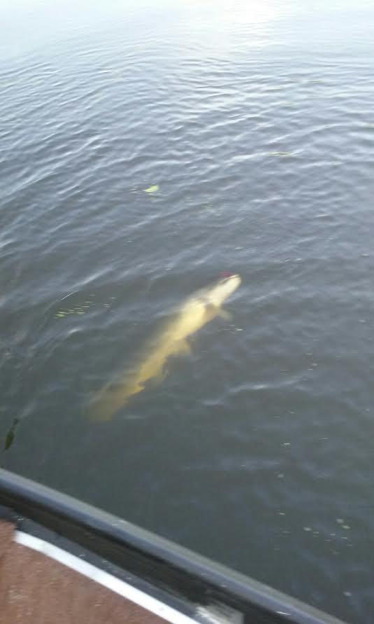 22lb  bowfin