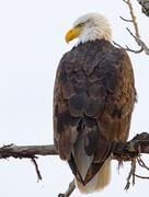 bald_eagle_adult3