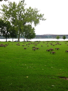 Geese @ Waterfront Park