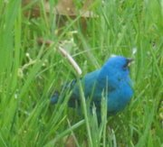 Indigo Buntings in Beacon