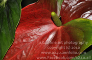 Selby Anthurium