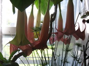 Branson and Angels trumpet 013