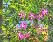 Silk Floss tree flowers