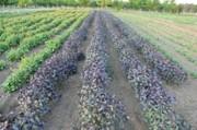 Чаят - плантация  3