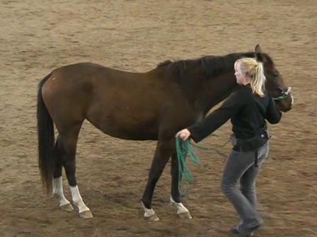 Long Reining 05 Preparing the horse