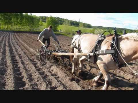 Potato Planting at Kallas Gård