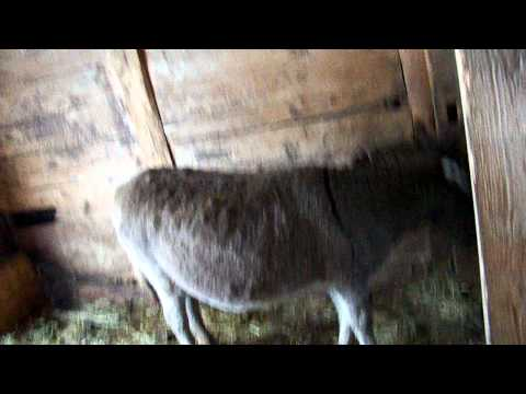 The Dancing Donkey