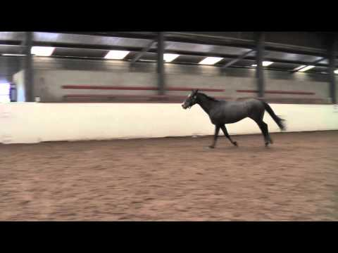 Loose Schooling Jumping 3 year old Irish Sport Horse.mov