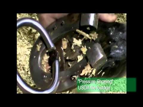 Horse Soring: The AVMA's Video