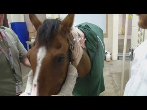Vets, Doctors Team Up For Historic Horse Surgery