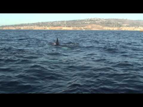 Orcas off Rancho Palos Verdes on December 10, 2011