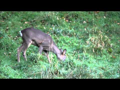 Young Roe Deer